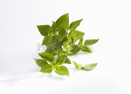 fresh turkish bush basil on a