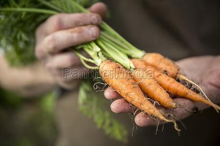 hands holding freshly harvested carrots