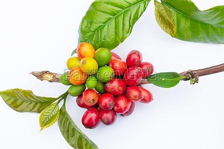 laos coffee pakxong coffee fruits farming