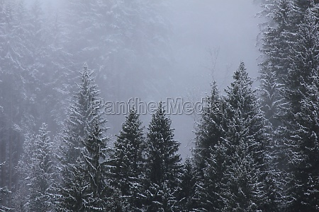 detail of a pine forest in