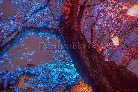 of going to see cherry blossoms