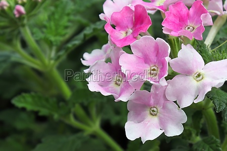 macro of pink and white delicate