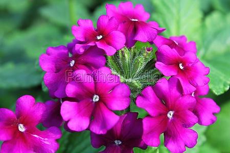 macro of magenta pink verbena blossoms