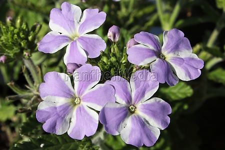 macro of striped purple and white