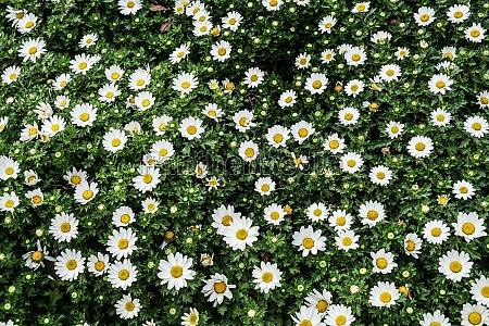 chamomile margaret of wallpaper