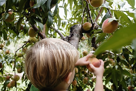 rear view of boy picking peach