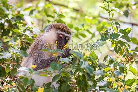 vervet monkey in lake chamo ethiopia