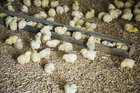 chicks on farm eating