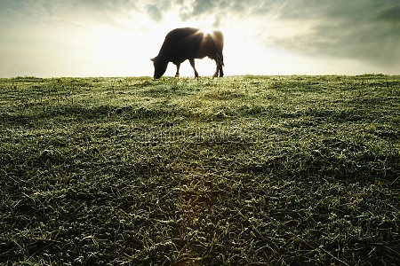 silhouette of cow grazing in field