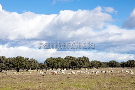sheeps grazing on the meadow