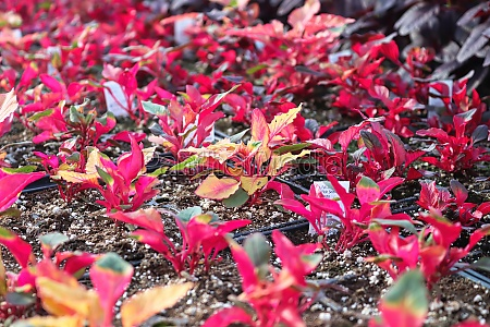 closeup of colorful amaranth plants growing