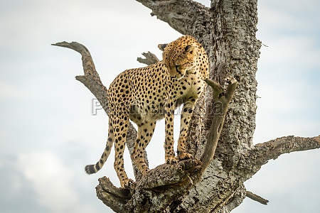 cheetah stands in dead tree staring