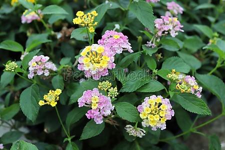 closeup of multicolored lantana flowers in