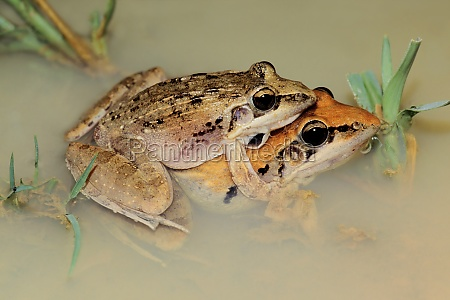 mating plain grass frogs