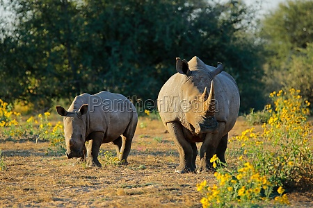 white rhinoceros and calf in natural