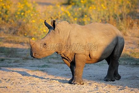 white rhinoceros calf in natural habitat