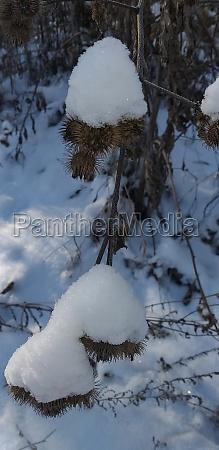 snow covered burdocks in the winter