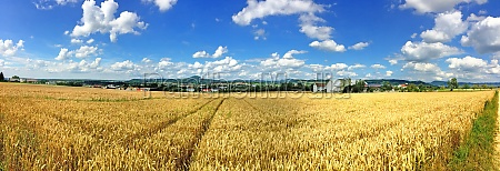 field of ripe rye with blue