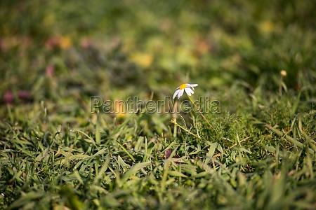 little white daisy flower