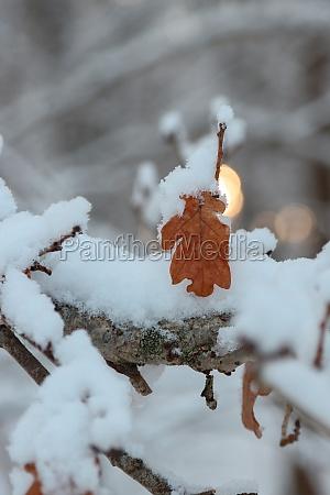 oak tree branch in the snow
