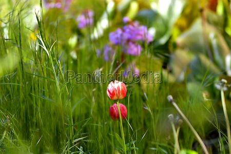 tulip hidden in garden between grass