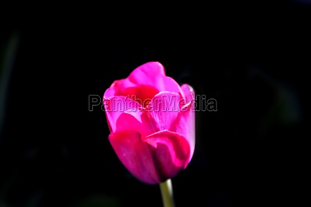 tulip flower with black background