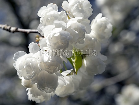 beautiful pure white blossom with soft