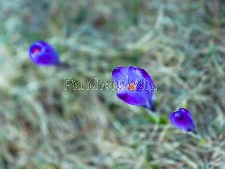 spring purple flower crocus