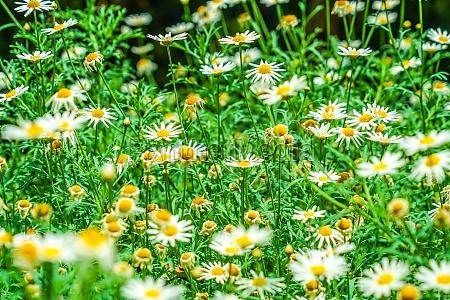 white and yellow flowers daisy margaret