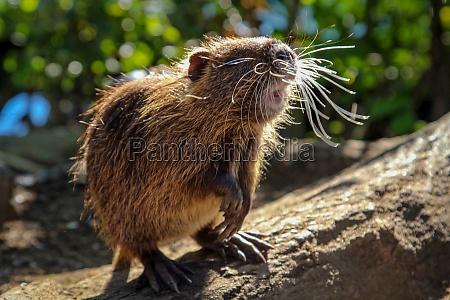 portrait of a muskrat nutria on