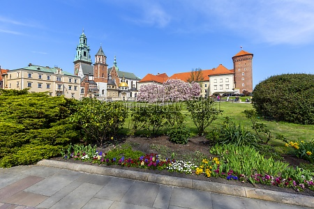 blooming magnolia trees on the wawel