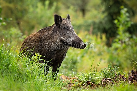 adult wild boar with wet fur