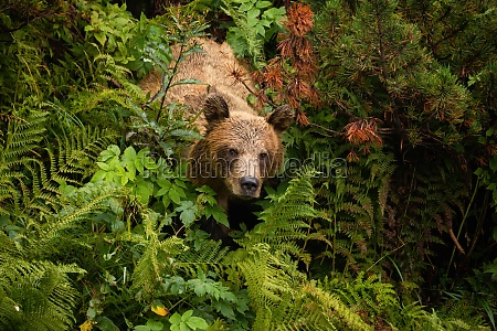 brown bear coming from dense forest