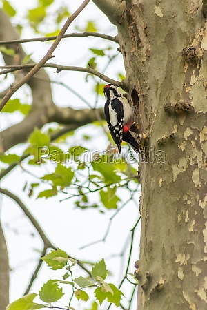 great spotted woodpecker at his nest