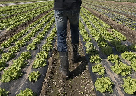 growing green lettuce in a field