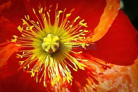 center of a red icelandic poppy