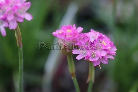 closeup of pink seathrift armeria flowers