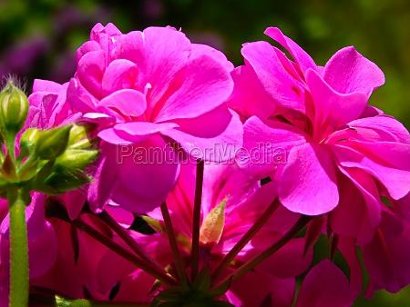 double pink red hanging geranium