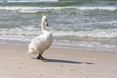 swan on the beach at baltic