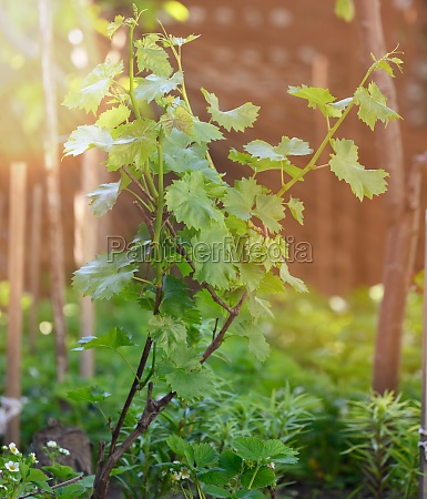 young bush growing grapes with green