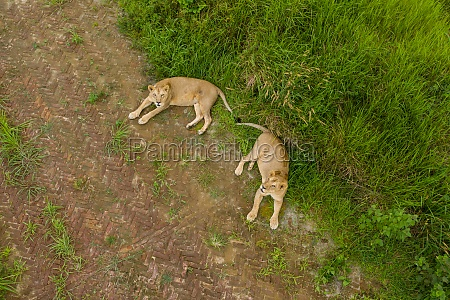 aerial view of two female lions