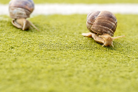 competition between two garden snails