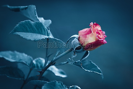 red rose flower with blur background