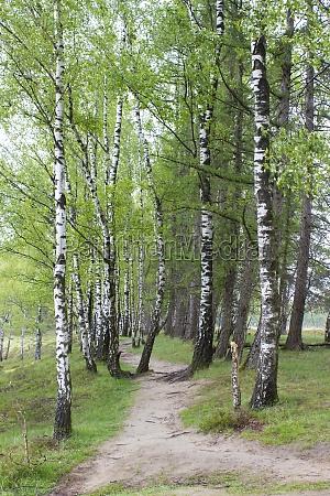 birch alley in brachter wald in