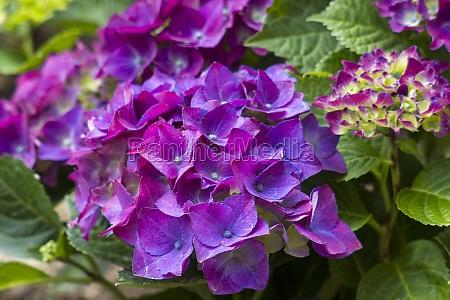 violet hortensia flowers in the garden