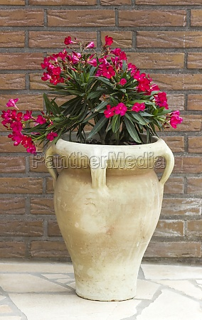 oleander flowers in a clay amphora