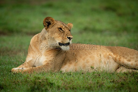 close up of lioness lying on