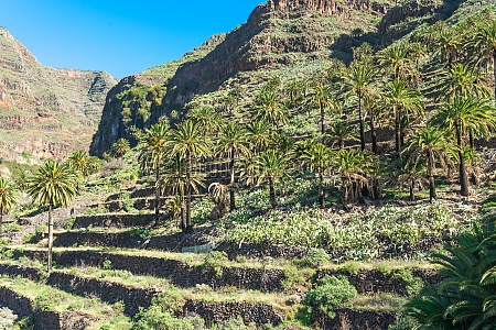 terraced fields and date palms in