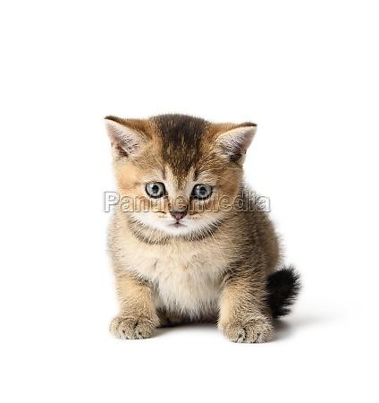 kitten scottish chinchilla straight sits on