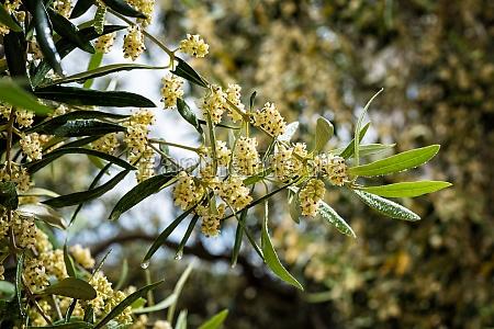 spring olive branch during flowering agriculture